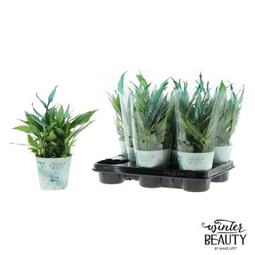 Spathiphyllum 10,5 cm Winter Beauty Make Upz blauw en sneeuw