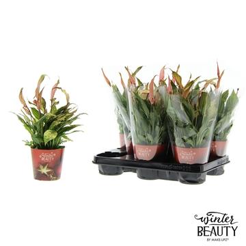 Spathiphyllum 10,5 cm Winter Beauty Make Upz rood en glitter