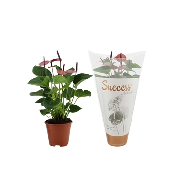 Anthurium Baby Purple in Success hoes