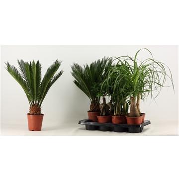 Groenmix 4 (2x Ficus, 2x Beaucarnea, 2x Zamio, 2x Cycas)