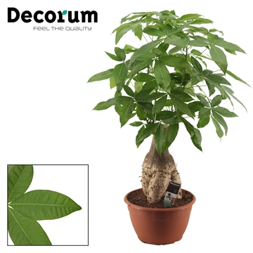 Pachira 30 cm trunk (Decorum)