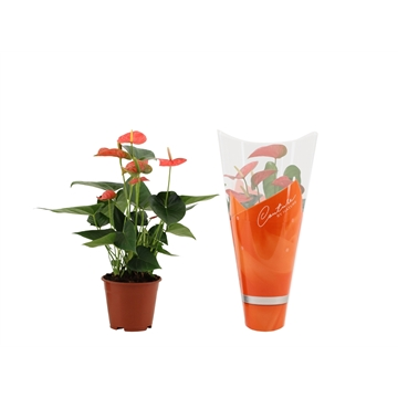 Anthurium Prince of Orange in Couture hoes
