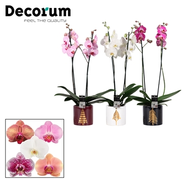 Phalaenopsis 2 tak mix in Manon (Glam Empire-collection)