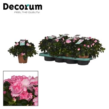 Azalea 12 cm Bont - Decorum