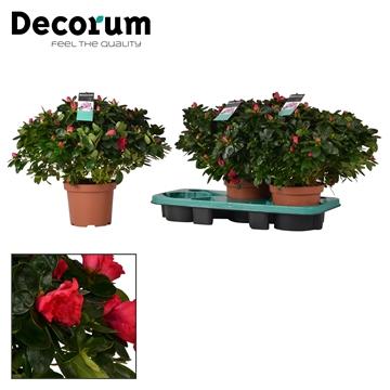 Azalea 17 cm rood - Decorum
