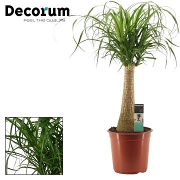 Beaucarnea recht 24 cm (Decorum)