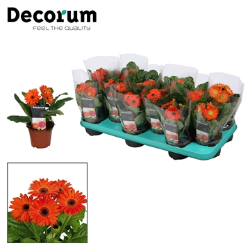 Gerbera 2+ bl. oranje (diverse kleurtinten) in hoes Decorum