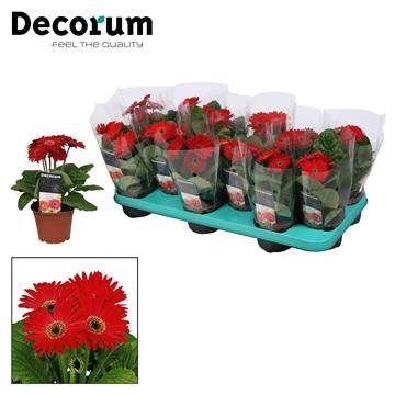 Gerbera 2+ bl. rood (diverse kleurtinten)  in hoes Decorum
