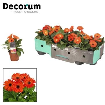 Gerbera  2+ bl. 10cm oranje (div kleurtinten) met kraag Decorum