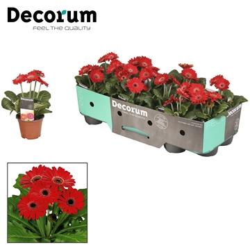 Gerbera 2+bl. 10cm rood (diverse kleurtinten) met kraag Decorum