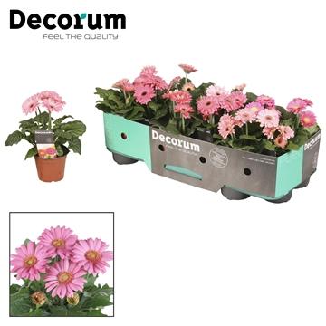 Gerbera  2+ bl. 10cm roze (div. kleurtinten) met kraag Decorum