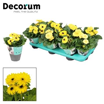 Gerbera 2+ bl. geel(diverse kleurtinten) potcover Decorum