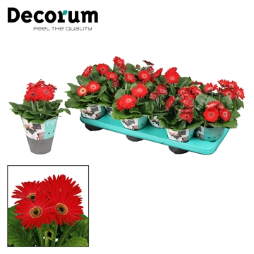 Gerbera  2+ bl. rood (diverse kleurtinten) potcover Decorum