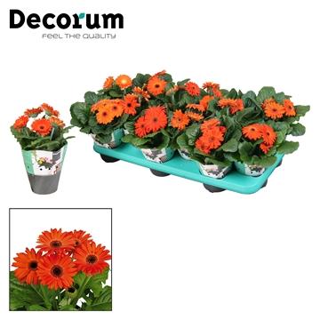 Gerbera  2+ bl. oranje (diverse kleurtinten) potcover Decorum