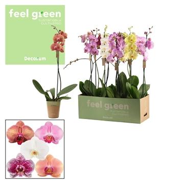 Phalaenopsis 1 tak 9+/vertakt mix lang (Feel Green)