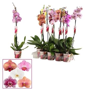 Phalaenopsis 1 tak 6-8 mix (Scenza)