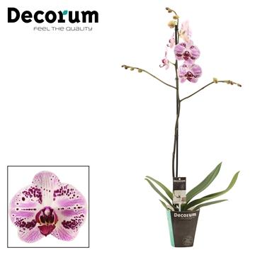 Phalaenopsis 1 tak 9+ Euphorion (Decorum)