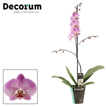 Phalaenopsis 1 tak 9+ Jillion (Decorum)