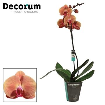 Phalaenopsis 1 tak 9+ Volcano (Decorum)