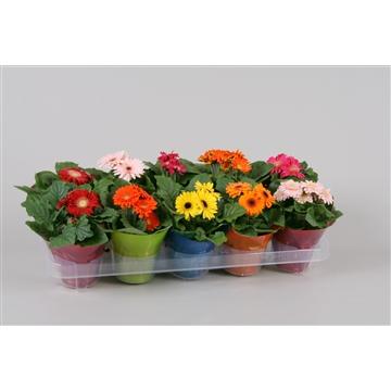 Gerbera belicht 2+ bl 10cm in floracup diverse kleuren