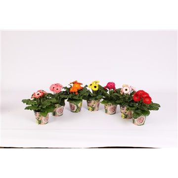 Gerbera belicht 2+ bl 10cm in pot boudoir