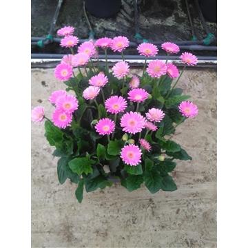 Gerbera Garvinea 40cm 10+bl rose