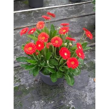 Gerbera Garvinea 40cm 10+bl  rood