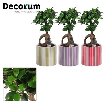 Ficus Ginseng Bonsai geënt 12 cm in Bobbi (Soft Illusion)