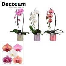 Phalaenopsis cascade 1 tak mix in Bobbi (Soft Illusion-collect.)
