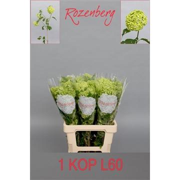 Viburnum opulus Roseum  L60-1K