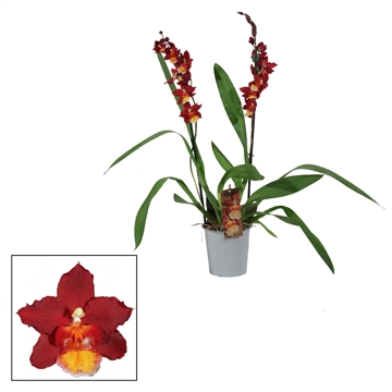 Cambria 2 tak Red Ruby