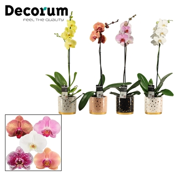 Phalaenopsis 1 tak mix in Sparkle (Glam Empire-collection)