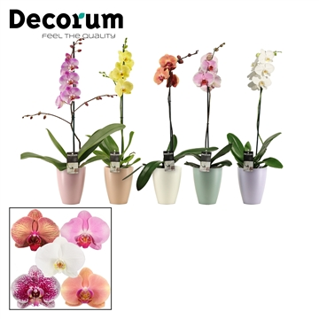 Phalaenopsis 1 tak mix in Carly (Dream Spirit-collection)