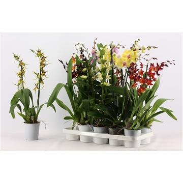 Orchideeën 2 tak mix