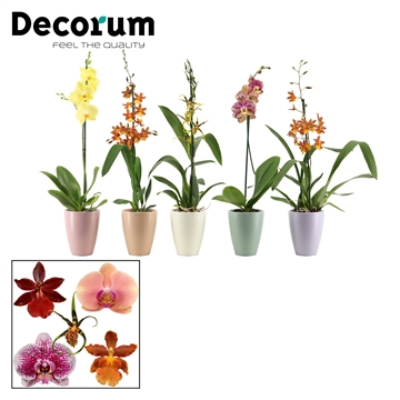 Orchideeën 1 tak mix in Carly (Dream Spirit-collection)