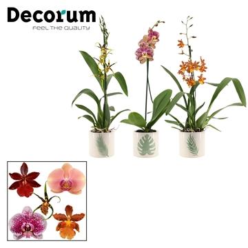 Orchideeën 1 tak mix in Manouk (Dream Spirit-collection)