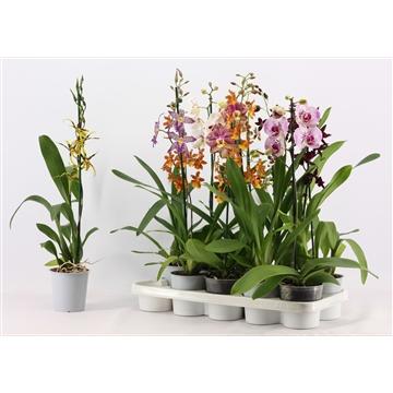 Orchideeën 1 tak mix zonder Phalaenopsis