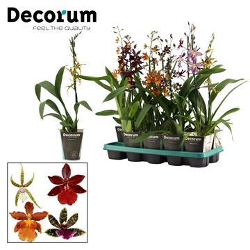 Orchideeën 1 tak mix zonder Phalaenopsis (Decorum)