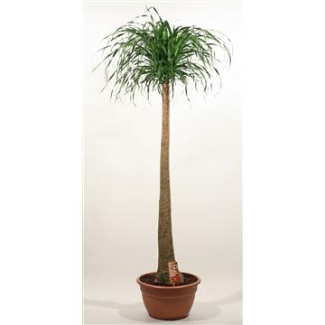 Beaucarnea recht 40 cm