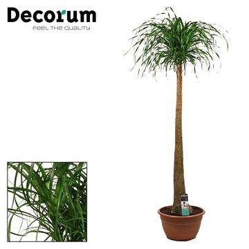 Beaucarnea recht 40 cm (Decorum)