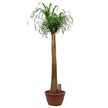 Beaucarnea recht 35 cm