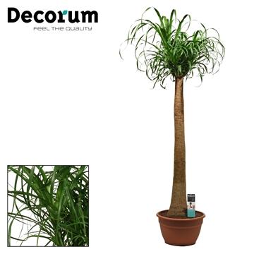 Beaucarnea recht 35 cm (Decorum)