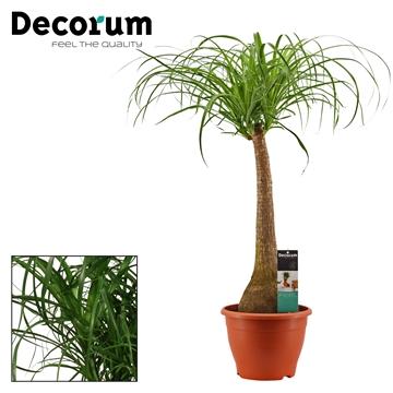 Beaucarnea recht 26 cm (Decorum)