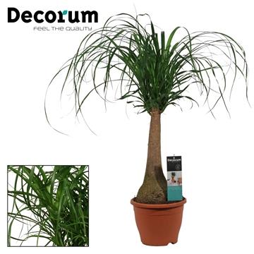 Beaucarnea recht 23 cm (Decorum)