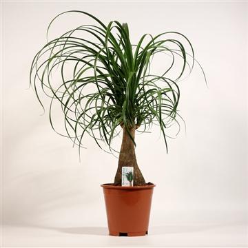 Beaucarnea recht 17 cm (2 kop)