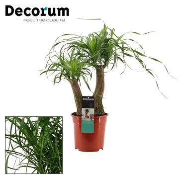 Beaucarnea 2 arm 19 cm (Decorum)