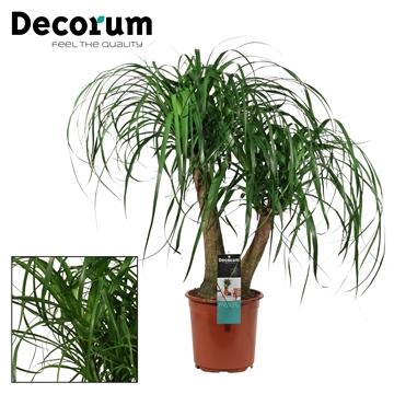 Beaucarnea 2 arm 21 cm (Decorum)