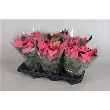 Euphorbia P Mars Pink