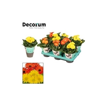 Gerbera 2+ bl. 10cm geel,oranje Decorum