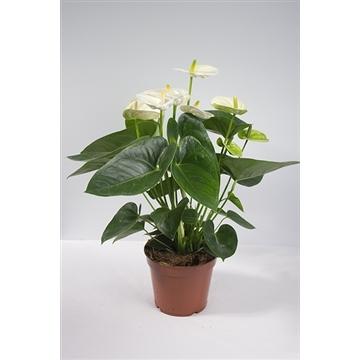 Anthurium Karma White (Sierra White) potmaat 17cm